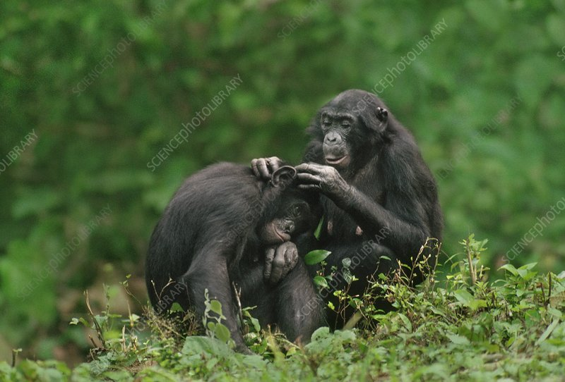 Female bonobo grooming son, Pan paniscus
