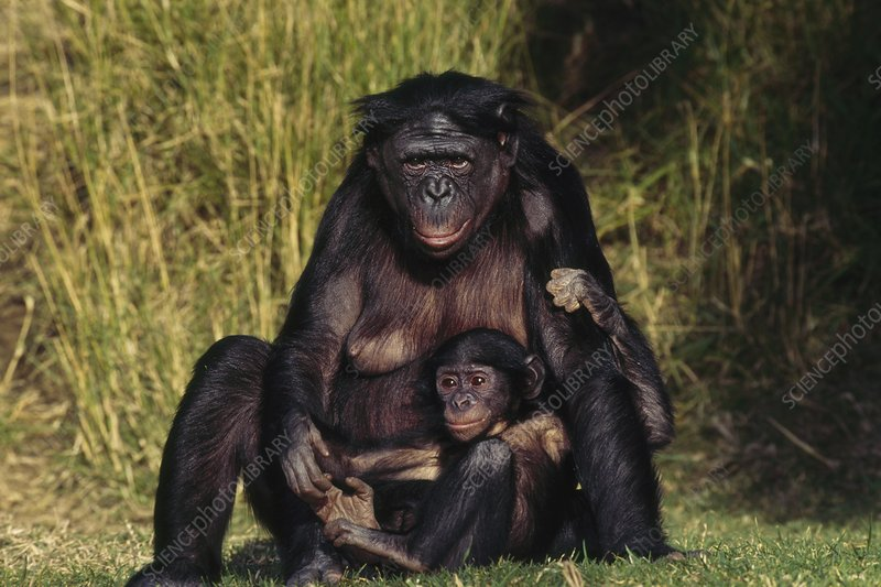 Bonobo mother and infant, Pan paniscus