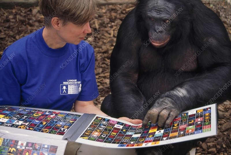 Researcher and bonobo communicating