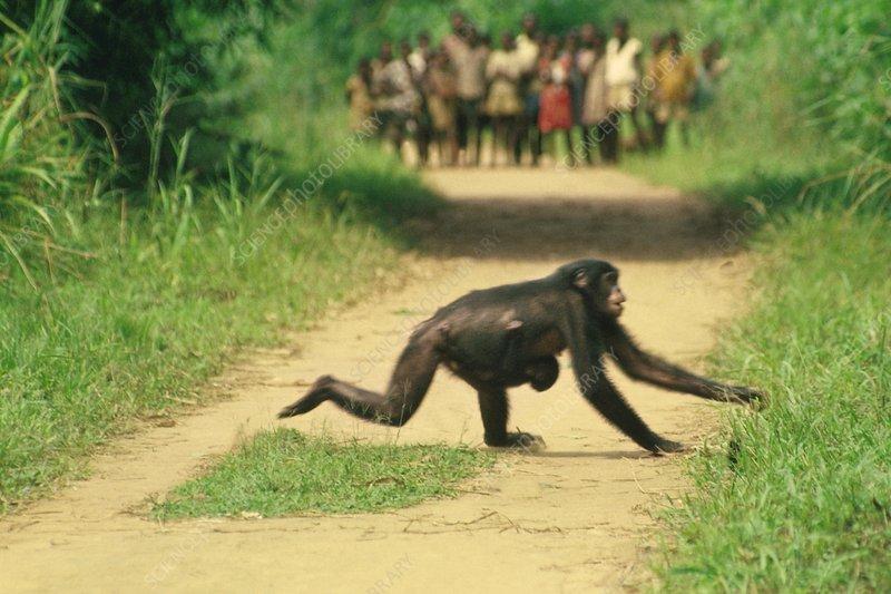 Schoolchildren watching bonobo cross road
