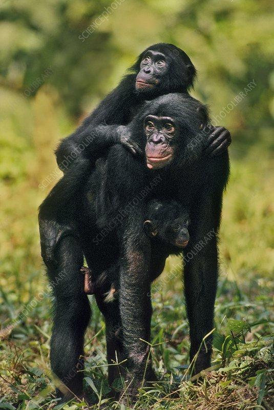 Bonobo mother with two infants, Congo