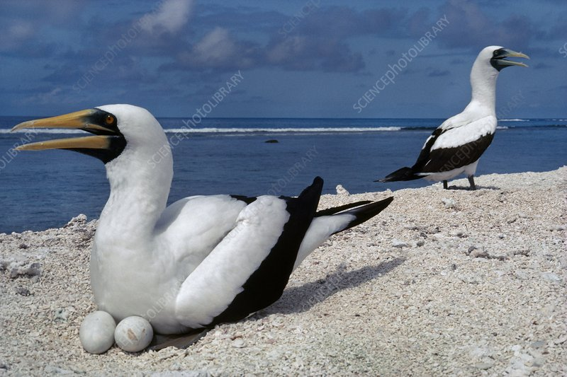Masked booby pair at nest on beach