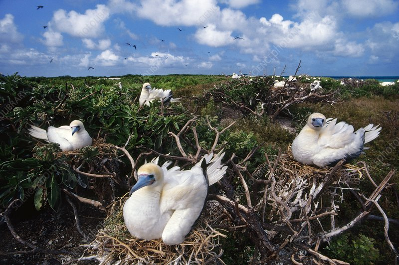 Red-footed booby nesting colony, Hawaii