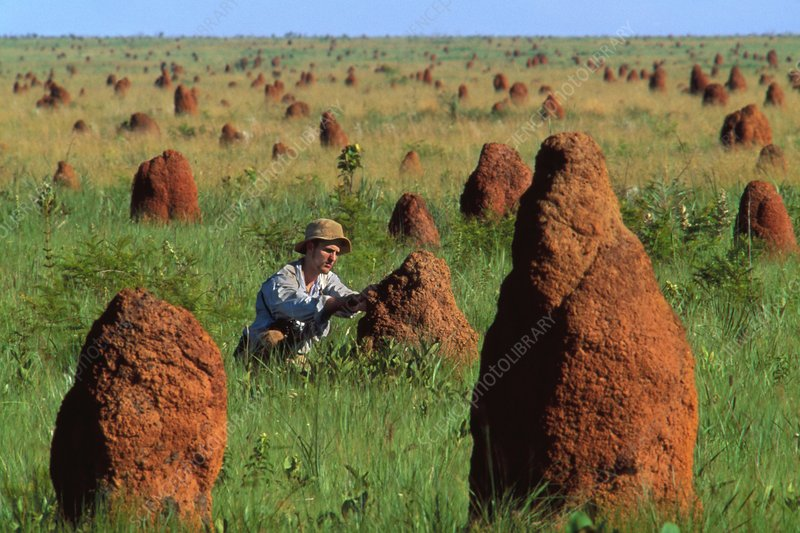 Researcher examining termite mounds