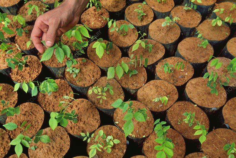 Tree seedlings in nursery, Brazil