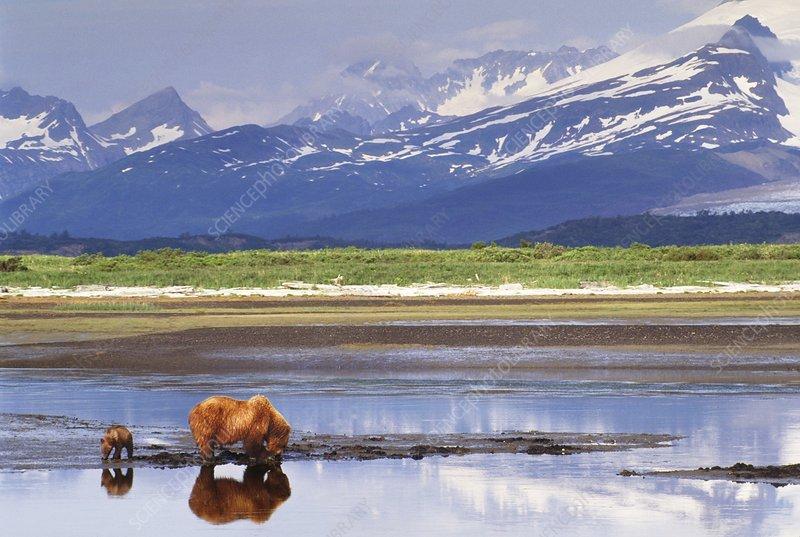 Brown bear mother and cub, Ursus arctos
