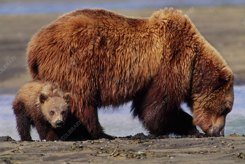 Brown bear mother and cub digging clams
