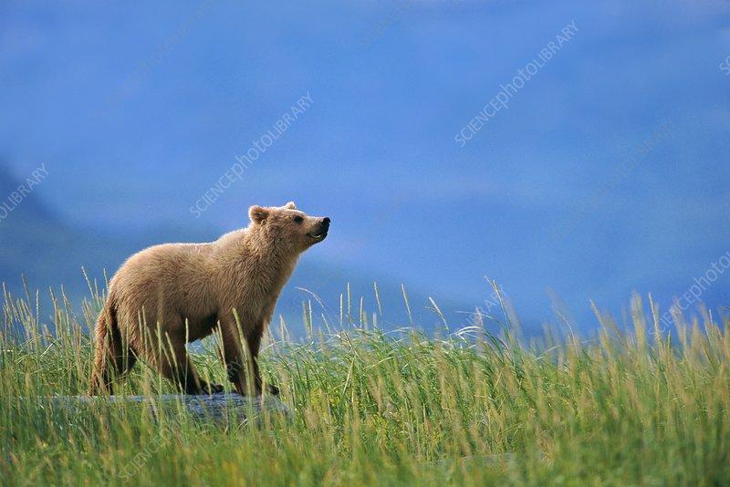 Brown bear, Ursus arctos, Katmai Alaska