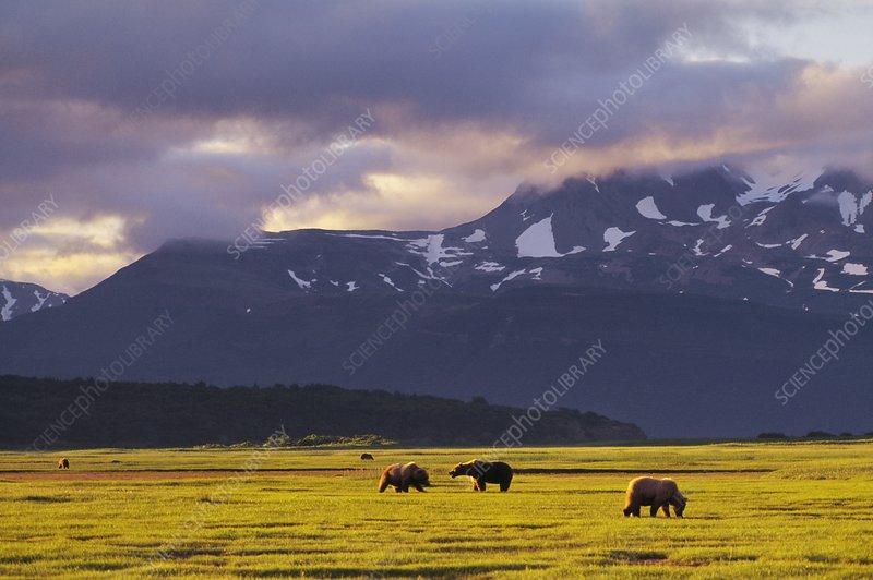 Brown bears in river valley, Ursus arctos
