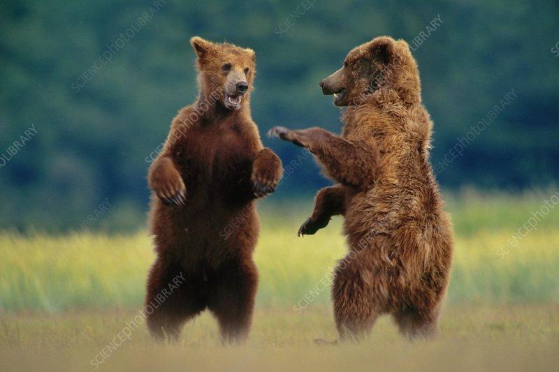 Brown bears sparring, Ursus arctos