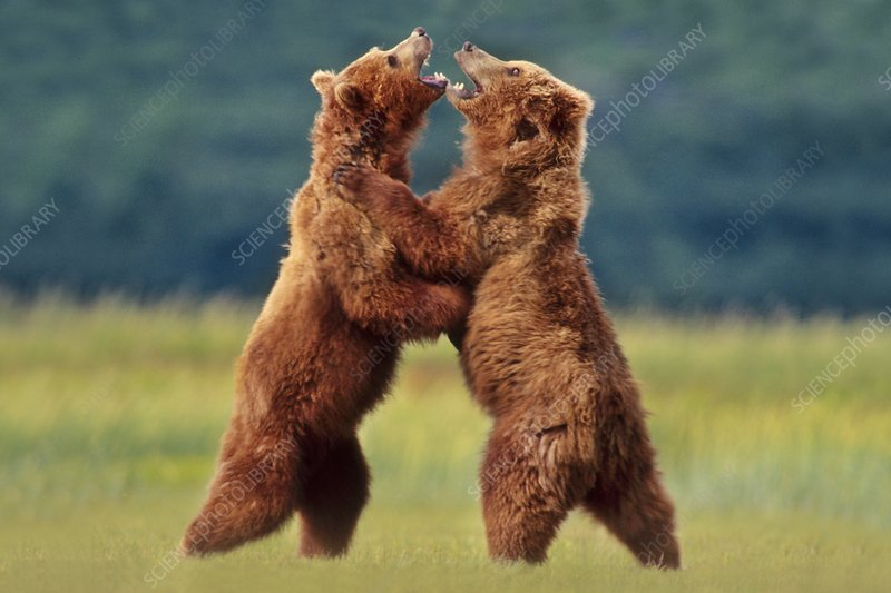 Brown bears sparring, Ursus arctos