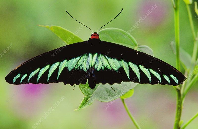 Raja Brooke's birdwing butterfly, Borneo