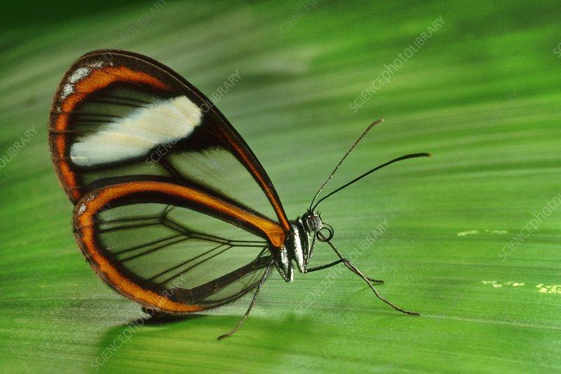 Glass-wing butterfly, Manu Peru
