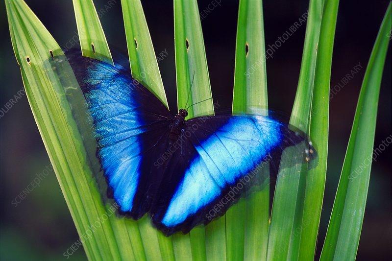 Morpho butterfly, Morpho deidamia