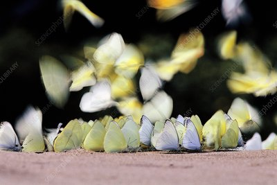 Butterflies sipping minerals from soil