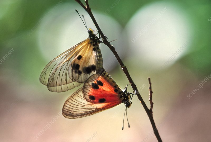 Clearwing butterflies mating, Madagascar