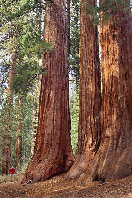Giant sequoia grove, California, USA