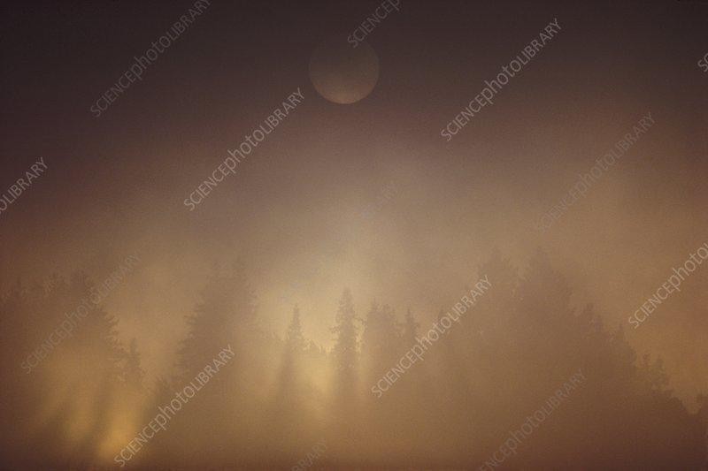 Redwoods in evening fog, California, USA