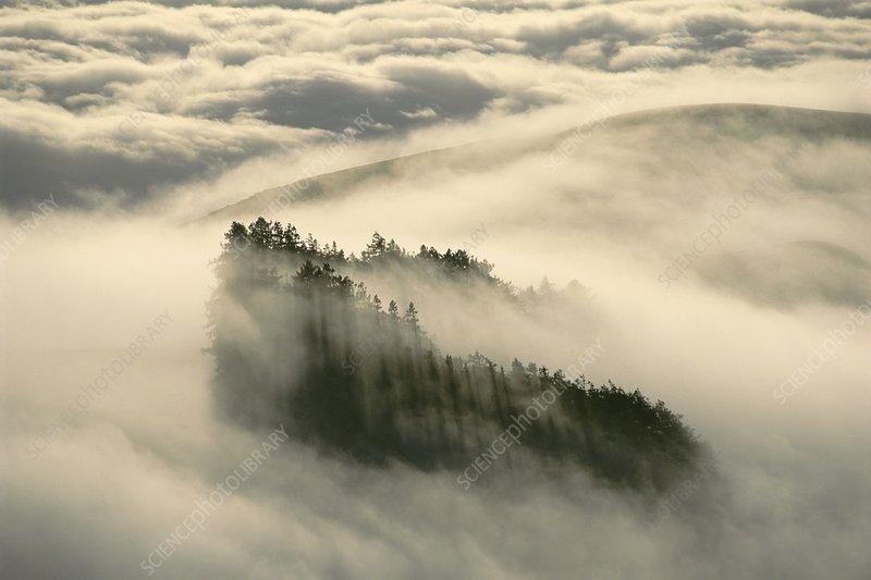 Redwood trees, Sequoia sempervirens