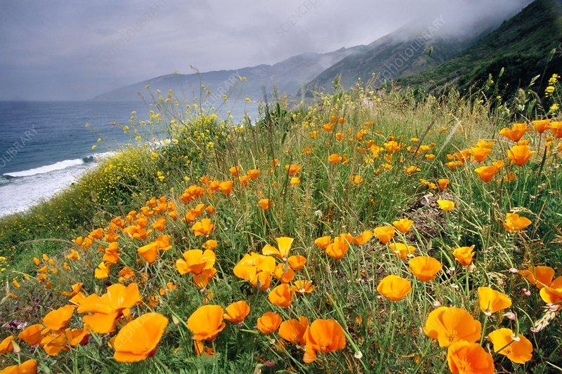 California poppies, Eschscholzia