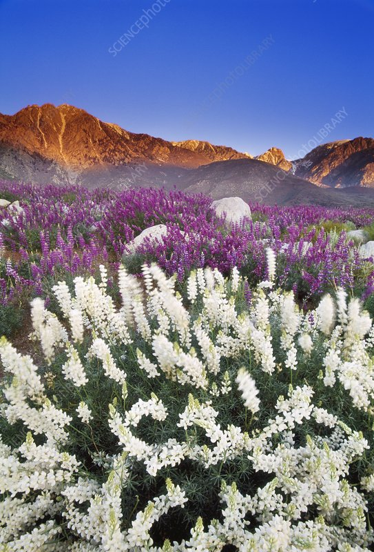 Flowering lupins, Lupinus sp. USA