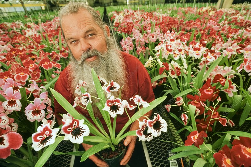 Orchid grower in plant nursery, USA