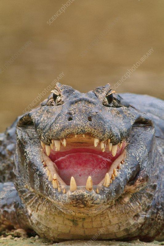Yacare caiman, Caiman yacare, Brazil