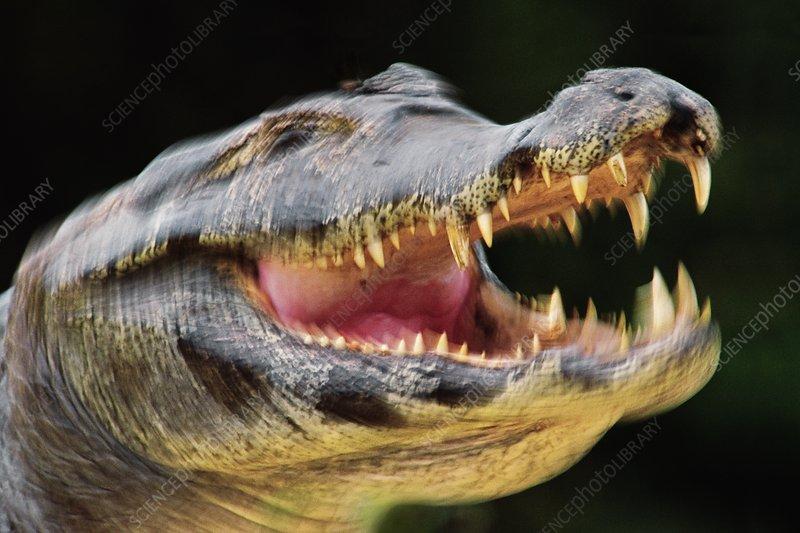 Yacare caiman threatening, Caiman yacare