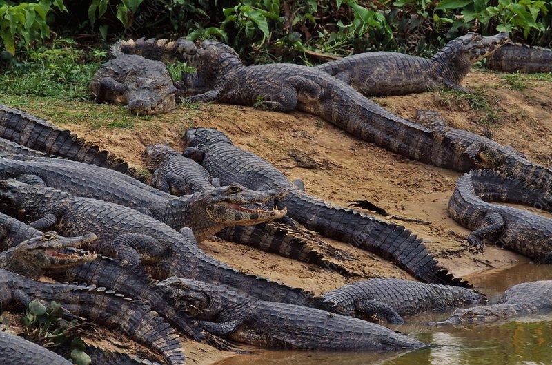Yacare caiman on riverbank, Caiman yacare
