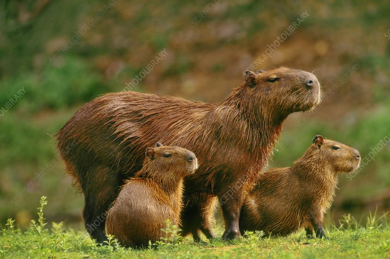 Capybara mother and young, Brazil