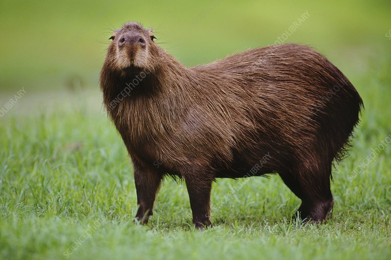 Capybara male, Hydrochaeris hydrochaeris