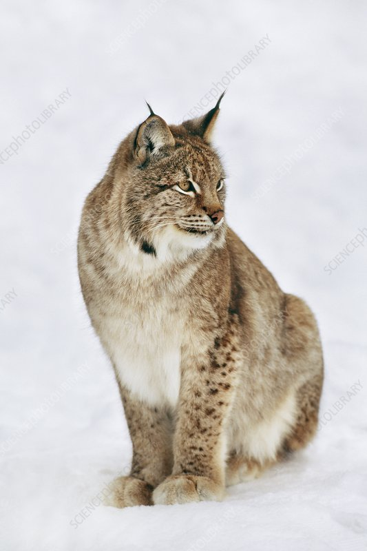 Eurasian lynx Lynx lynx Finland Finland Stock Photo