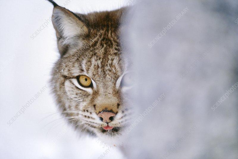 Eurasian lynx hiding behind tree