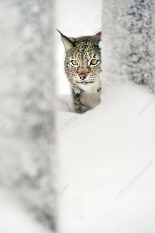A northern lynx Lynx lynx at the Ähtäri Zoo in Finland A