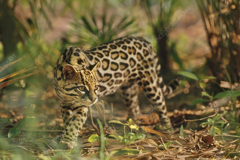 Ocelot, Leopardus pardalis, Belize