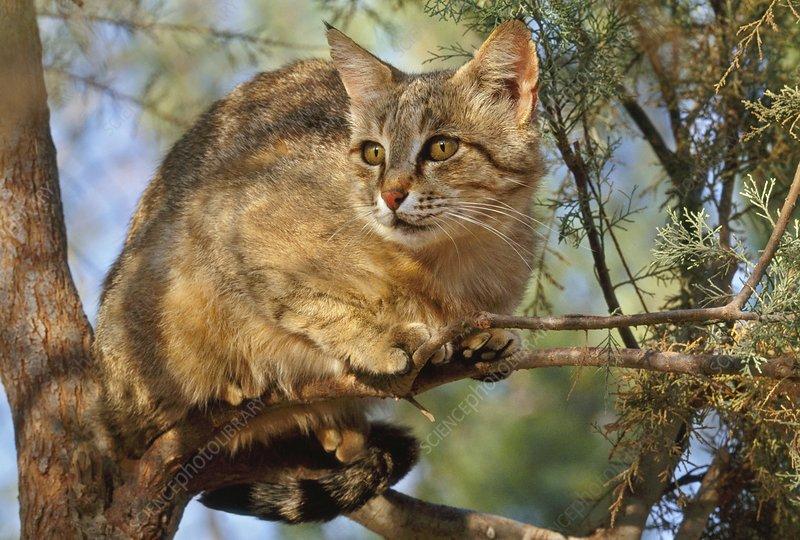 European wildcat in tree