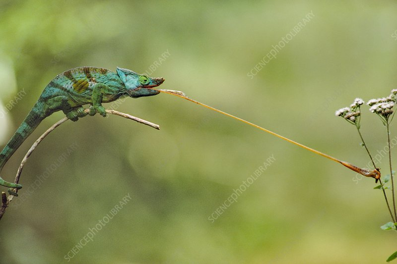 Parson's chameleon striking insect