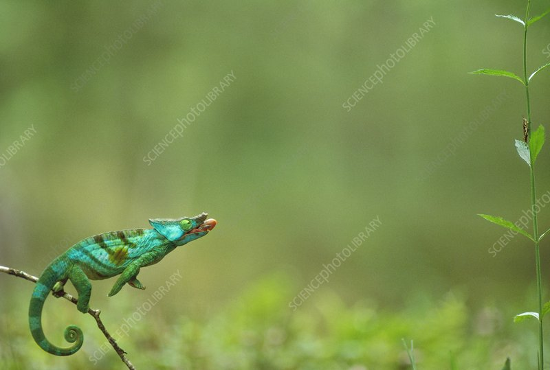 Parson's chameleon aiming at insect
