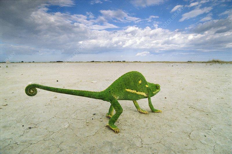 Flap-necked chameleon crossing salt pan