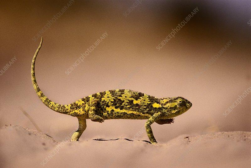Flap-necked chameleon crossing sand
