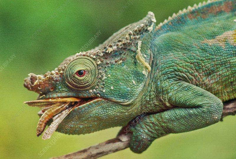 Parson's chameleon, eating grasshopper