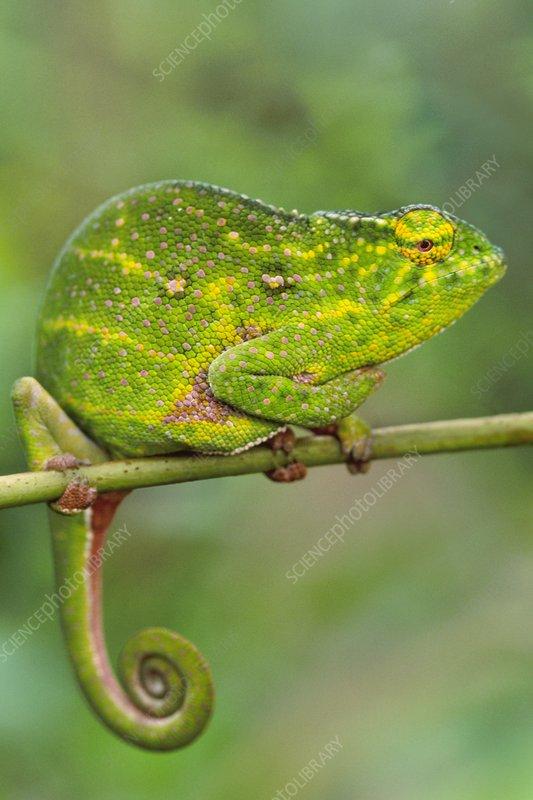 Will's chameleon, Furcifer willsii