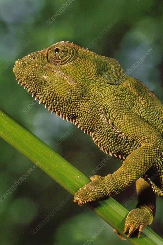 Jackson's chameleon, Chamaeleo jacksonii
