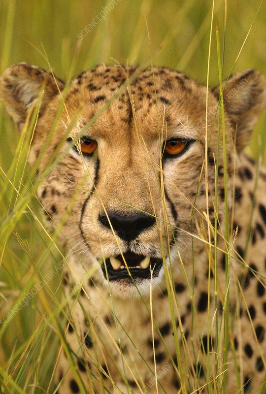 Cheetah, Okavango Delta, Botswana