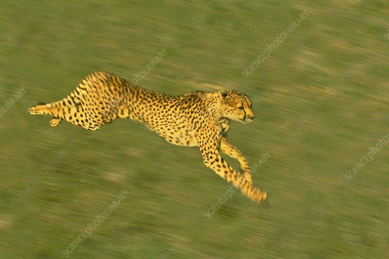 Cheetah running, Kenya