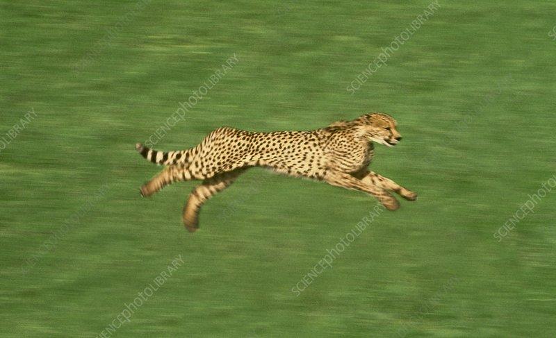 Cheetah running, Native to Africa