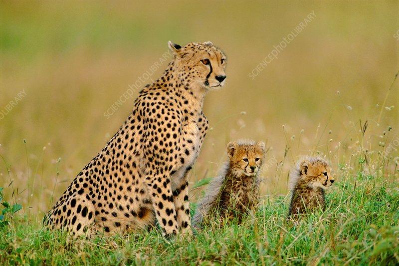 Cheetah and cubs, Kenya