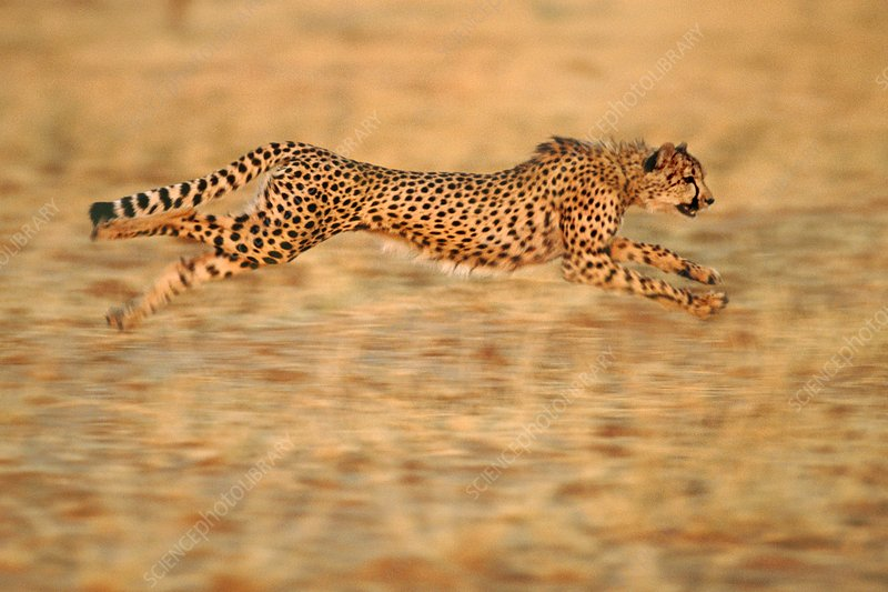 Cheetah running, Namibia
