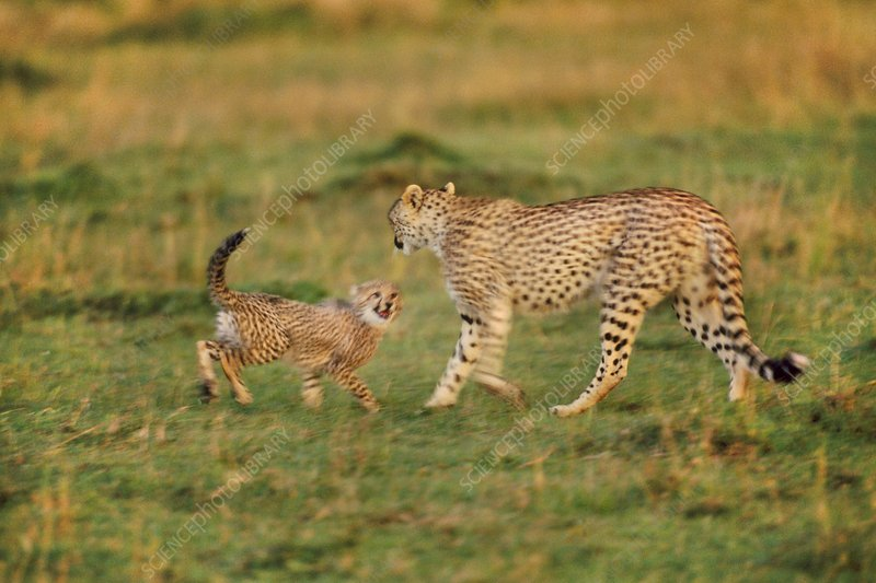 Cheetah mother with cub, Kenya