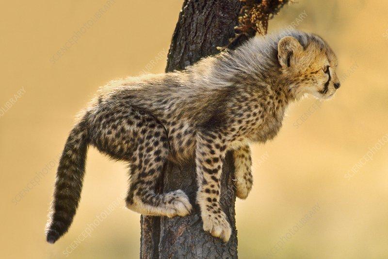 Cheetah cub in tree, Masai Mara, Kenya
